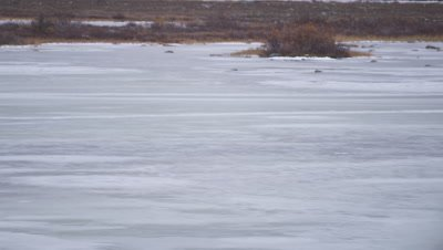 Polar bear scavengers on Canada goose carcass in Fall vegetation on shore of frozen pond.  Pan across frozen pond to reveal bear.  Med-Wide.