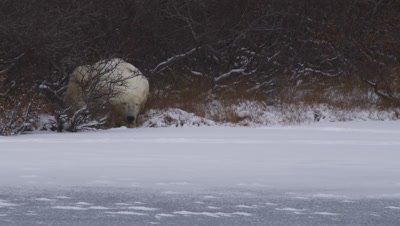 Polar bear lays in bare willows on edge of frozen pond.  Free snow coats the ice and vegetation. Snow blows across ice.  Med.