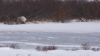Polar bear lays in bare willows on edge of frozen pond.  Free snow coats the ice and vegetation. Snow blows across ice.  Wide.
