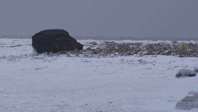2 year old polar bear cub walks out on rocky spit surrounded by ice to large black boulder.  Wide.