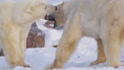 Two male polar bears wrestle & play with each other.  The bears wrap up playing and it starts to become serious, with one bear backing the other down and out onto the ice. Clip is first Tight and following, then Med with a pass through frame and follow.
