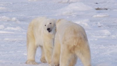 Male polar bear, after a play session turned serious, continues to back another male bear out across the ice.  Both bears becoming more agitated, posturing with teeth as the move.  Following shot Tight.