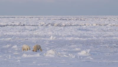 Male polar bear, after a play session turned serious, continues to back another male bear out across the ice. Wide shot with open water channels and ice floes in background.  As the subordinate bear tries to get away the dominant bear charges in and bites him.  The dominant bear continues to pursue him until the subordinate bear runs off
