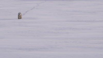 Polar bear walks across snowy expanse towards camera, leaving paw tracks in fresh snow.  Wide.