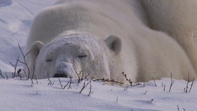 Polar bear with snow on his face sleeps in a snowbank that has willow branches sticking out.  Tight.
