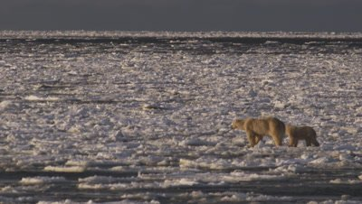 Mother polar bear and yearling cub try to run  and jump across broken sea ice that is being blown out to the open ocean. Wide.