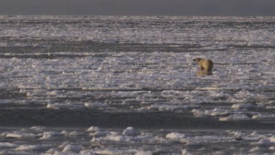 Mother polar bear and yearling cub try to run  and jump across broken sea ice that is being blown out to the open ocean.  Mother bear stops and looks for a way back to shore while her cub rolls on his back, drying off after falling into the ocean.  Wide.