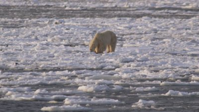 Mother polar bear and yearling cub try to run  and jump across broken sea ice that is being blown out to the open ocean.  They start walking towards camera, then jumping from ice chunk to ice chunk.  Mother leaves frame. Med.