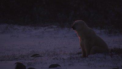 Backlit polar bear that just woke up sits and looks around at sunrise.  Brilliant orange light rims the bear.  Close.