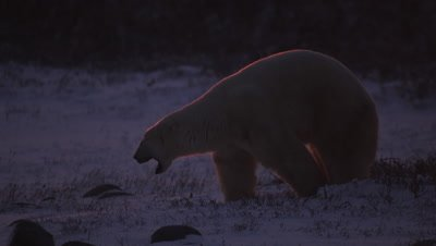 Backlit polar bear that just woke up stretches and yawns then walks out of frame.  Bear is rimmed in brilliant orange light by the rising sun.  Close.