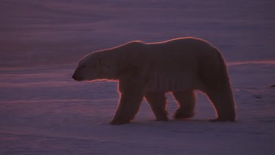 Backlit polar bear that is rimmed by brilliant orange sunrise light walks across ice.  As the bear walks a beam of light from the sun crosses through frame.  Bear stops and lays on the ice and begins rubbing on its belly and back.  Bear gets up and walks across ice.  Several re-frames in clip.  Med & Tight.