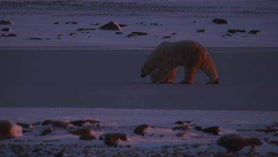 Backlit polar bear that is rimmed by brilliant orange sunrise light walks across a frozen pond.  Following shot then bear leaves frame.  Med.