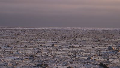 Tilt down across rocky tidal flat at low tide to reveal three polar bears feeding on carcass of seal that was stranded by retreating tide. Sunrise light.  Wide.