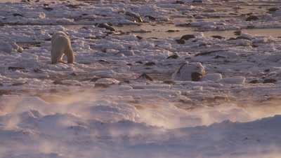 Polar bear feeds on remains of a seal on rocky tidal flats at low tide.  Sunrise light.  Wind blows fresh snow in foreground.  Med-Wide.