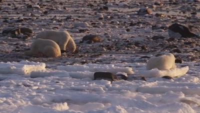 Three polar bears and some ravens feed on remains of a seal on rocky tidal flats at low tide.  Sunrise light. Wind blows fresh snow across ice in the foreground.  Med.