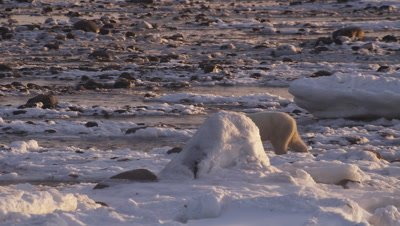 A polar bear walks across rocky tidal flats at low tide towards other bears who are scavenging on a seal carcass. Bear approaches another bear, intimidating it into moving off.  First bear than claims parts of seal and starts eating.  Med.