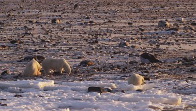 Four polar bears gather and scavenge on seal carcass on rocky tidal flats at low tide.  Sunrise light.  Wide.