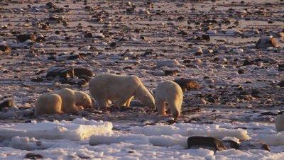 Three polar bears scavenge on seal carcass on rocky tidal flats at low tide.  Sunrise light.  Med.