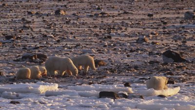 Four polar bears gather and scavenge on seal carcass on rocky tidal flats at low tide.  Sunrise light.  Med-Wide.