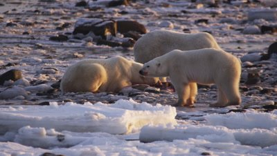 Polar bears gathered at seal carcass.  Smaller bears circle around two very large bears who are feeding on seal carcass.  Med-Close.