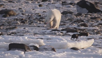 Polar bears gathered at seal carcass.  Raven scavenges on bits of seal while bear walks in background.  Med-Close.