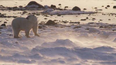 Polar bear walks across snowy, icy landscape as strong winds blow fresh snow across the ground in sunrise light.  Med.