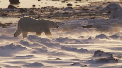 Polar bear walks across snowy, icy landscape as strong winds blow fresh snow across the ground in sunrise light.  Following shot, bear leaves frame.  Med.