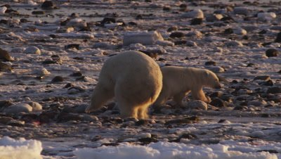 Polar bears gathered at seal carcass in tidal flats at low tide.  Massive polar bear who has claimed a share of the carcass spins towards a smaller bear who approached quite close.  Smaller bear spins and runs away.  Med.