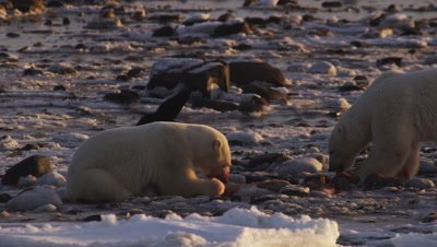 Polar bears gathered at seal carcass in tidal flats at low tide.  2 Massive polar bears who have claimed the bulk of the carcass feeds on what scraps remain amongst the rocks.  Ravens scavenge around them.  Med.