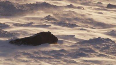 Polar bear walks across snowy, icy landscape as strong winds blow fresh snow across the ground in sunrise light.  Bear passes through frame.  Med.