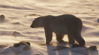 Polar bear walks across snowy, icy landscape as strong winds blow fresh snow across the ground in sunrise light. Close following shot.
