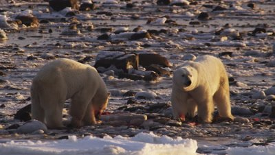 Polar bears gathered at seal carcass in tidal flats at low tide.  2 Massive polar bears who have claimed the bulk of the carcass feeds on what scraps remain amongst the rocks.  Ravens scavenge around them.  Close.