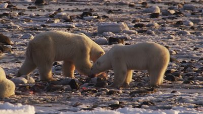 Polar bears gathered at seal carcass in tidal flats at low tide.  2 Massive polar bears who have claimed the bulk of the carcass feeds on what scraps remain amongst the rocks.  Ravens scavenge around them. One bears moves on to another piece and the other bear leaves.  Close.