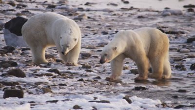 Polar bears gathered at seal carcass in tidal flats at low tide.  Two huge male bears, who have finished eating what is left of the seal, both walk away from the remnants of the seal, towards camera.  Leave frame.  Med-Close.
