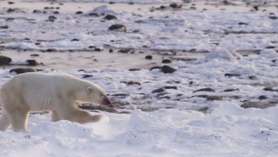 Polar bears gathered at seal carcass in tidal flats at low tide.  Large male bear walks away from kill, walking through and over broken ice as strong winds blow snow.  Following shot, bear leaves frame.  Med.