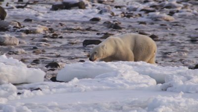 Polar bears gathered at seal carcass.  Smaller bear picks up and drags a scrap of meat.  Med.
