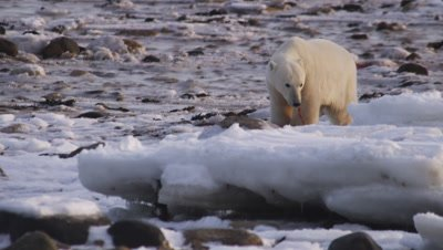 Polar bears gathered at seal carcass.  Smaller bear picks up and drags a scrap of meat onto a chunk of ice and starts eating. Med.