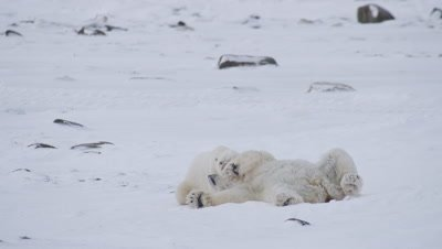 Two male polar bears, who just finished wrestling/playing, lay and rest next to each other.  Med.