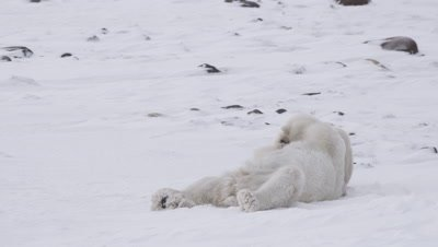 Two male polar bears, who just finished wrestling/playing, lay and rest next to each other.  Bears start wrestling again.  Re-frames in clip.  Med.