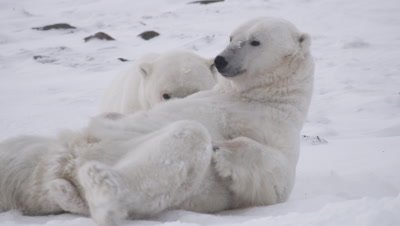 Two male polar bears, who just finished wrestling/playing, lay and rest next to each other.  Bears start wrestling again.  Tight.