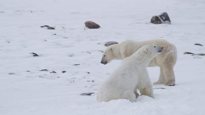 Two male polar bears finish up a wrestling session.  Med.