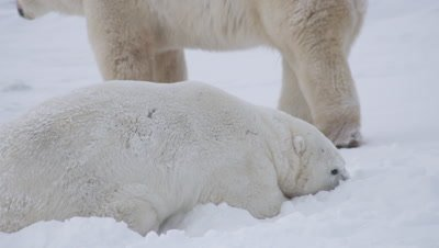 Two male polar bears finish up a wrestling session and closer bear lies head down to sleep.  Tight.