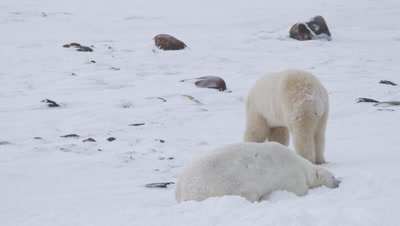 Two male polar bear finish up a wrestling session.  One bear walks away from camera and leaves frame.  Second bear gets up and follows the first.  Med.