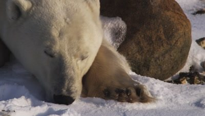 Male polar bear laying agains a rock in the snow picks his head up then lays it back down.  Ext. Tight on head & paw.