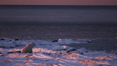 Lit by the brilliant orange light of the setting sun, a lone polar bear sits in a bed of kelp and overlooks a vast open ocean that is slushy with rapidly forming ice.  Wide.