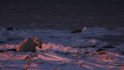 Lit by the brilliant orange light of the setting sun, a lone polar bear sits in a bed of kelp and overlooks a vast open ocean that is slushy with rapidly forming ice.  Med..