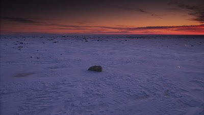 Sunrise scenic.  Polar bear and cub lay on windswept snow & ice.  Pan across the ice cape as vibrant orange colors light up the clouds on the horizon.  Wide.