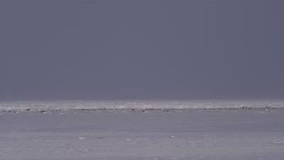 Mother polar bear and two cubs walk across desolate ice sheet as strong winds buffet the.   Bears walk through frame.  Wide.