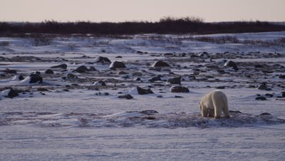 Polar bear digs into snow-covered bed of seaweed on rocky tidal flat with bare willows in the background.  Wide.