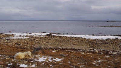 Polar bear lays on rocky beach and eats dead grass.  Wide with open ocean in background.  Wide.